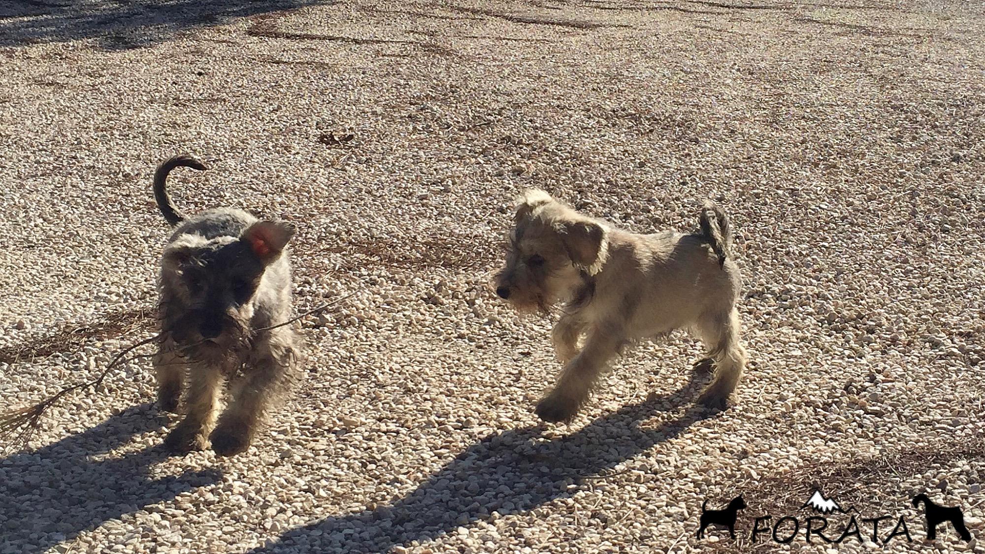 Cachorros Schnauzer – juegos y carreras.