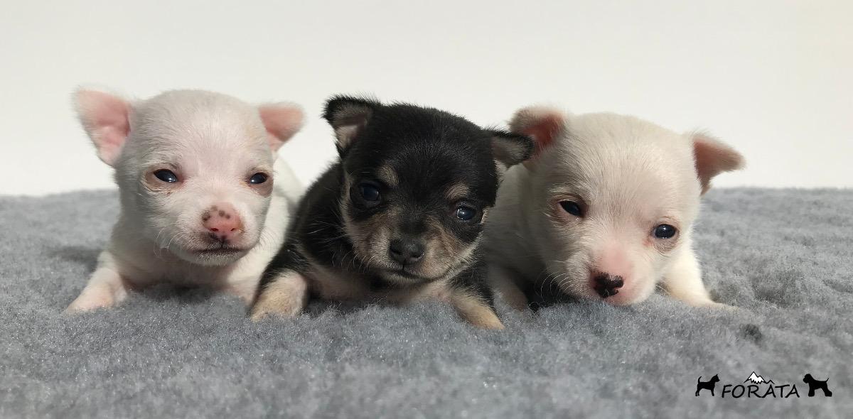 Nueva camada de Chihuahuas